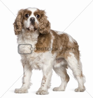 Cavalier King Charles Spaniel, 7 years old, standing in front of