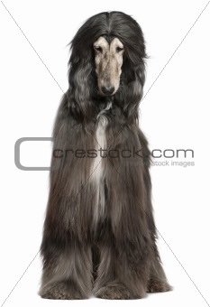 Afghan hound, 7 years old, in front of white background
