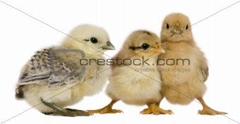 Group of three chicks