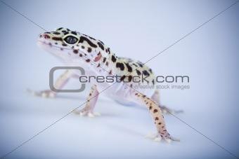 Small gecko reptile lizard