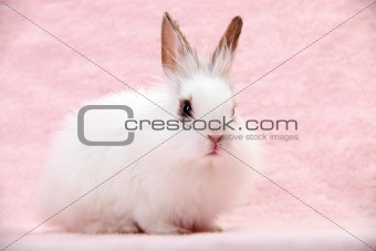 Little White Domestic Rabbit on Pink Background