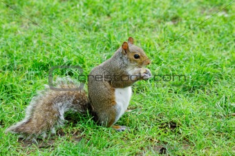 american grey squirrel