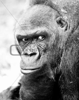 adult gorilla