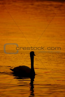 Beautiful golden sunset with swan