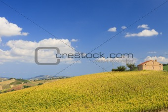 Bright and fresh field with sunflowers in Italy in summer