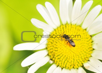 Small Carpenter Bee