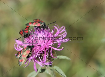 Six-spot burnet on knapweed.