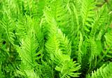 Leaves of a fern