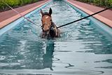 swimming horse in horse's swimming pool