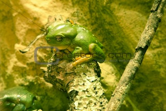 Green tree frog sitting on branch