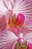 Pink moth orchid phalaenopsis macro closeup