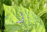 silkworm ringed silk worm on mulberry green leaf