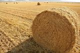 Hay round bale of dried wheat cereal