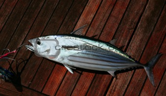 Catch skipjack tuna fish portrait detail seafood