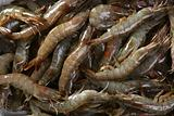 penaeus vannamei prawns shrimps pattern