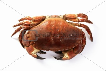 Cancer pagurus big crab isolated on white