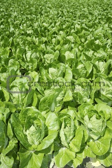 cabbage green vegetables field in spring farmland