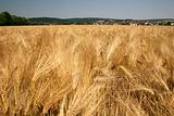 Barley field