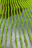 Flooded rice field with new  plantings