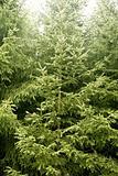 Fir pine trees green mountain texture