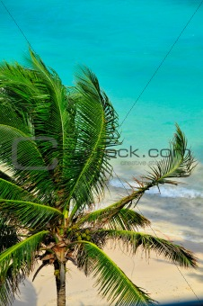 Caribbean Palm Tree