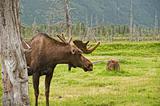 Grazing Alaskan Moose