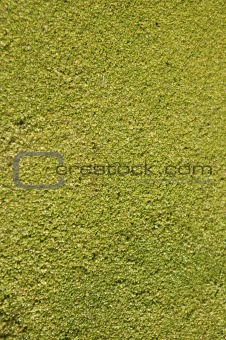 Green grass texture macro detail