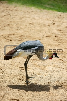 African Yellow billed Stork Tantalo