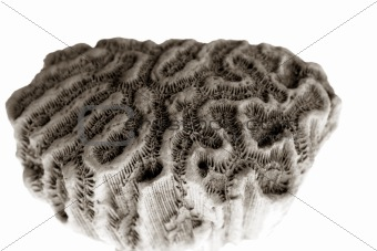 brain coral isolated
