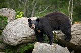 Black Bear Wildlife in North Carolina Mountains