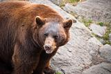 Cinnamon Black Bear Wildlife in North Carolina Mountains