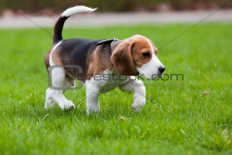 Beagle dog on green grass