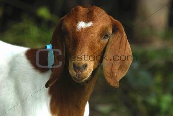 goat doeling