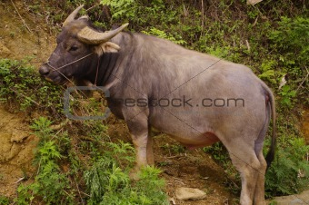 A buffalo with its wooden bell