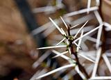 Acacia thorns Macro