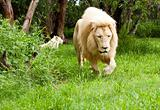 Young Lion walking through grassland