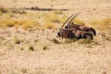Two Oryx lying down in the Kgalagadi desert