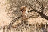 Cheetah sitting underneath shrub in Kalahari