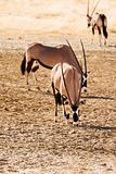 Three Gemsbok in the Kalahari desert