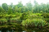 Rainforest swamp