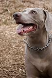 Portrait of a dog, Weimaraner