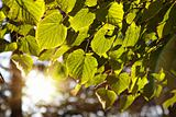 Linden leaves in forest, backlit