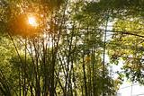 Bamboo trees with sun behind