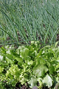Lettuce and green onion