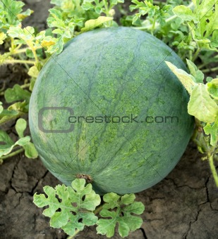 Watermelon in the garden