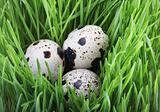 Quail eggs in the grass