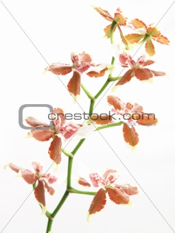 blooming oncidium