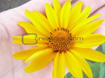 A yellow daisy on the palm