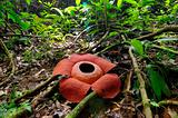 rafflesia anoldi