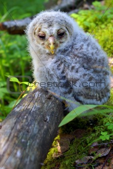 Baby bird of an owl